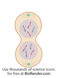 a mitotic cell in telophase with nuclear membrane formation and chromosomes decondensing