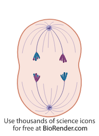 a cell in anaphase I of meiosis, with polarized centrosomes, and chromosomes separated to opposite ends