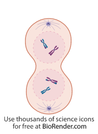 a cell in telophase I of meiosis, with chromosomes at opposite poles and formation of nuclear membrane