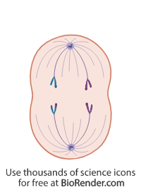 a cell in anaphase II of meiosis, with polarized centrosomes, and separating chromatids