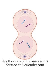 a sister cell in telophase II of meiosis, with formation of nuclear membrane and cytokinesis