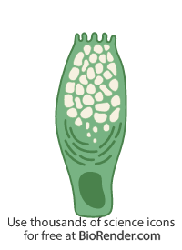 a columnar goblet cell with a nucleus, ER, and mucin secretory vesicles