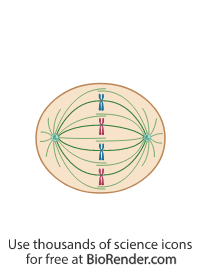 a mitotic cell in metaphase with centrosomes, spindle fiber, and normal alignment