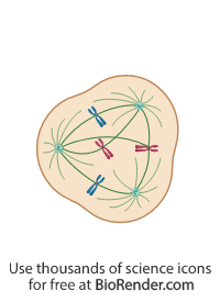 a mitotic cell with 3 centrosomes, spindle fiber, and multipolar chromosome alignment
