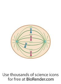 a mitotic cell in metaphase with centrosomes, spindle fiber, and chromosome misalignment