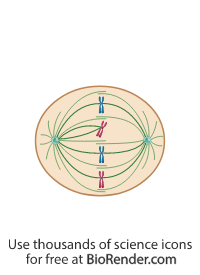 a mitotic cell in metaphase with centrosomes, spindle fiber, and syntelic chromosomal attachment