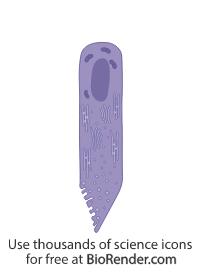 Amelobast (secretory phase)