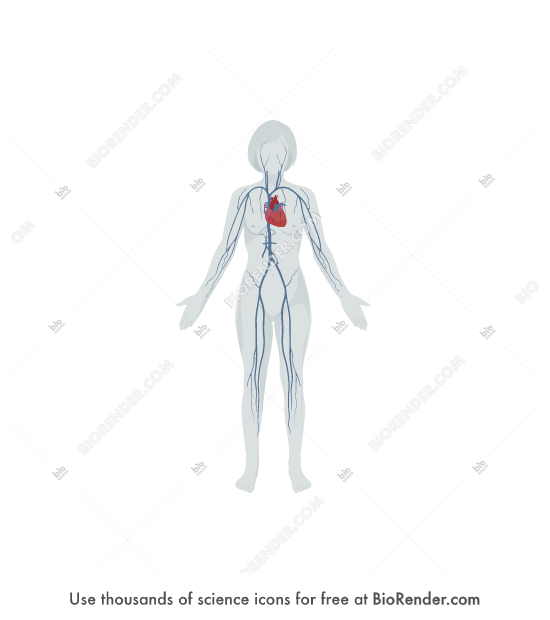 BioRender | Venous system (female, on body)